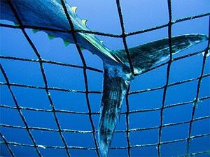 En  denfensa del atún rojo