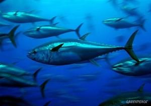 Atunes rojos del Mediterráneo dentro de una jaula de transporte